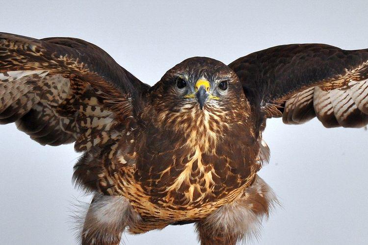 Close-Up Of Golden Eagle Flying Against Sky