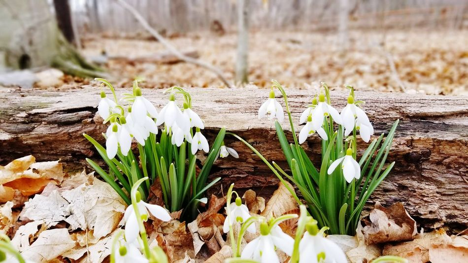 April snowdrops Spring Flowers spring into spring Flower Flower Head Close-up Plant Snowdrop Wildflower In Bloom Plant Life Blooming