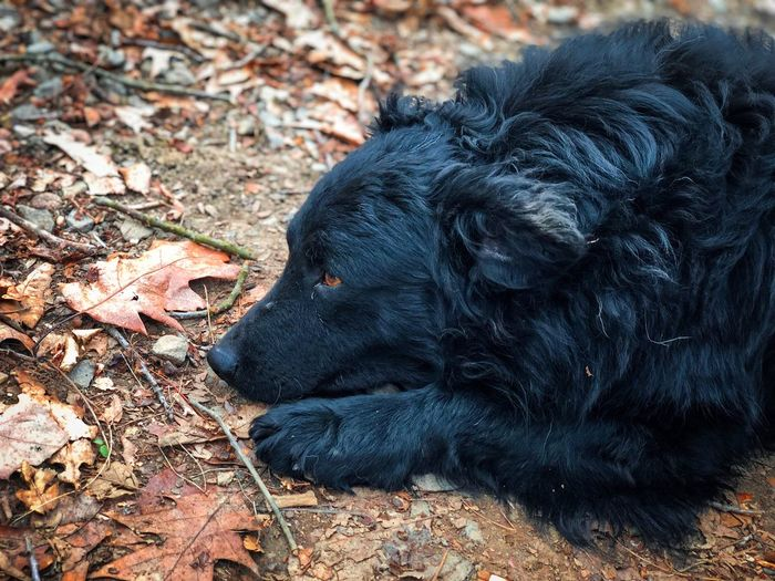 Cute black dog with brown eyes resting on the ground Cute Ground Leaves Forest Sleeping Dog Sleepy Sleepyhead Resting Lazy Outdoors Fur Black Dog One Animal Animal Animal Themes Mammal Vertebrate Black Color Dog Canine Domestic Animals Pets Domestic No People Day Nature Close-up Relaxation Looking Away Lying Down