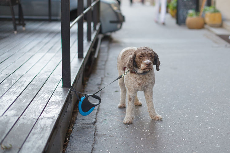 cute dog waiting for owner on the street Full Length Standing Looking At Camera Pet Leash Day No People Leash Dog Animal Canine Mammal Domestic Pets One Animal Cute Awaiting Lagotto Romagnolo Pavement Charming Forgotten Waiting Loneliness Lonely Owner Collar