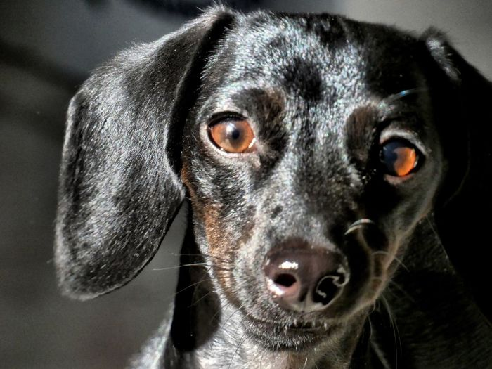 Please? Dacshund EyeEm Selects Dog Pets One Animal Domestic Animals Close-up Portrait Looking At Camera Animal Themes