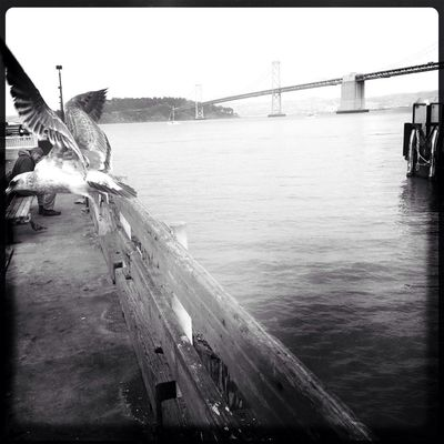 Flight Sea Gull The Bay Bridge Oggl