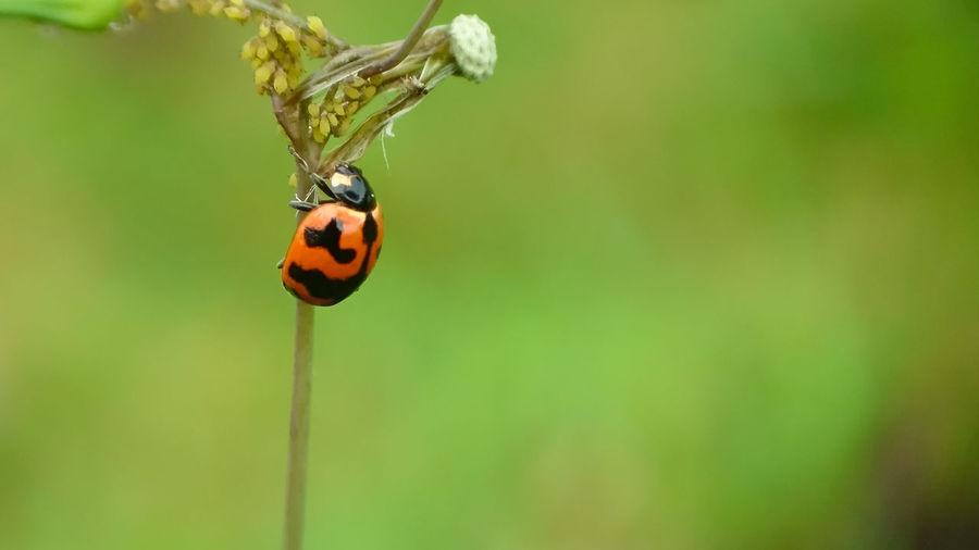 Ladybug Ladybug