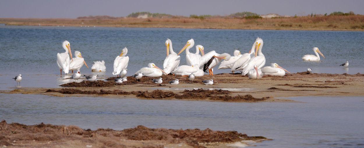 White Pelicans At Beach