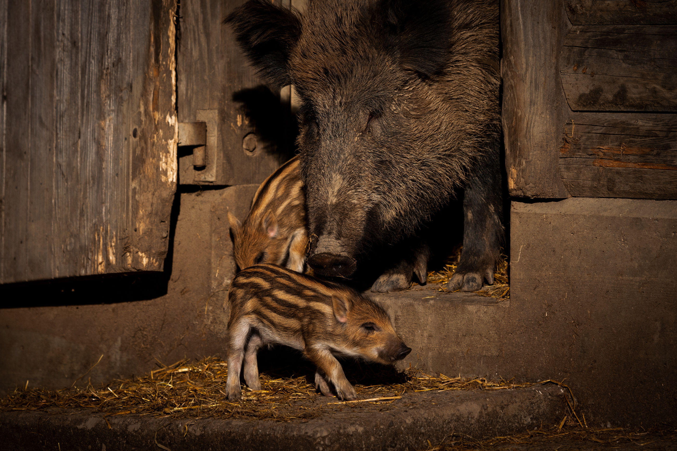 animal, animal themes, mammal, group of animals, animal wildlife, two animals, no people, animals in the wild, vertebrate, wild boar, day, young animal, outdoors, animal family, nature, brown, pig, togetherness, focus on foreground