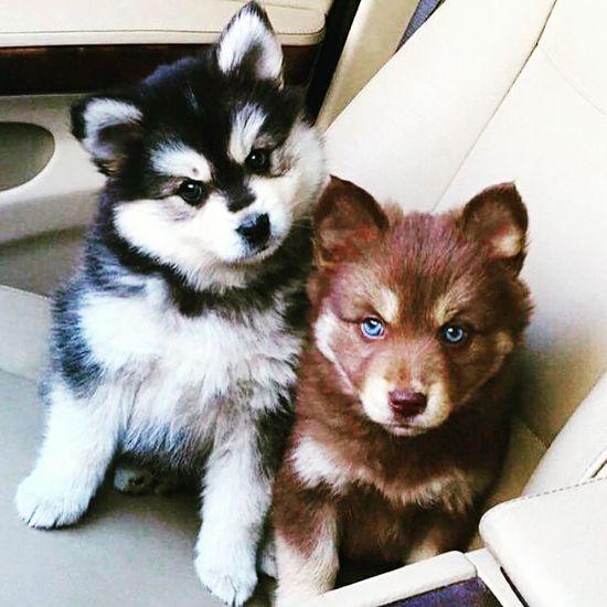 Pomskies❤ Pomeranian Huskypuppy EyeEm Best Shots Fortheloveofdogs AnimaLs <3 Cute♡ Cuteeee♥♡♥ Cutenessoverload Lovely