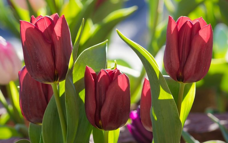 Red Tulips Flower Growth Petal Freshness Fragility Beauty In Nature Nature Plant Flower Head Day Blooming Focus On Foreground Outdoors Close-up No People Leaf