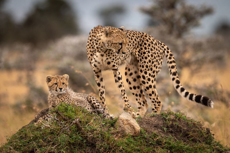 Cheetah stands with cub looking down mound Cheetah Acinonyx Jubatus Predator Cat Big Cat Kenya Masai Mara Africa Kicheche Nature Travel Animal Wildlife Animal Wildlife Animals In The Wild Animal Themes Mammal Feline Group Of Animals No People Vertebrate Plant Tree Two Animals Focus On Foreground Day Spotted