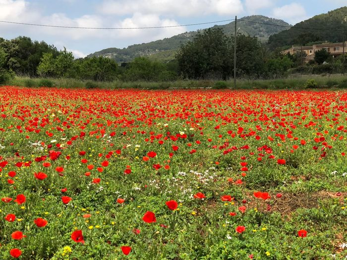 Poppy field SPAIN Mallorca Travel Destinations No Filter, No Edit, Just Photography Plant Growth Red Beauty In Nature Flower Field Landscape Sky Flowering Plant Nature Agriculture Environment Rural Scene No People Cloud - Sky