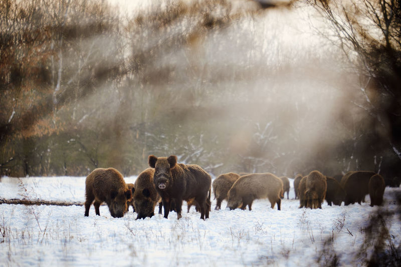 Wild Boars Walking On Snow Covered Land