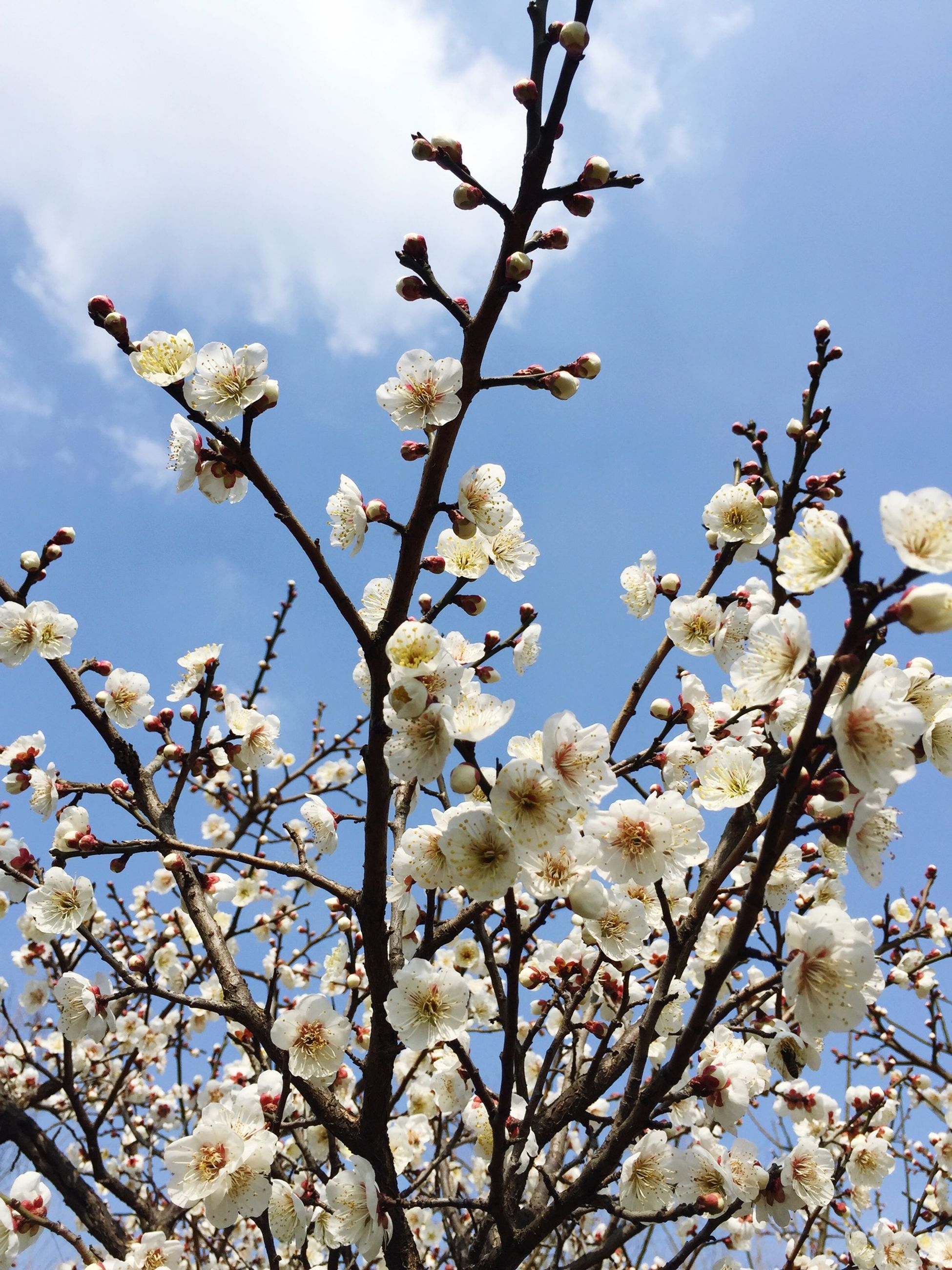 flower, branch, low angle view, freshness, growth, fragility, tree, sky, blossom, beauty in nature, cherry blossom, nature, white color, blooming, cherry tree, springtime, petal, in bloom, twig, day