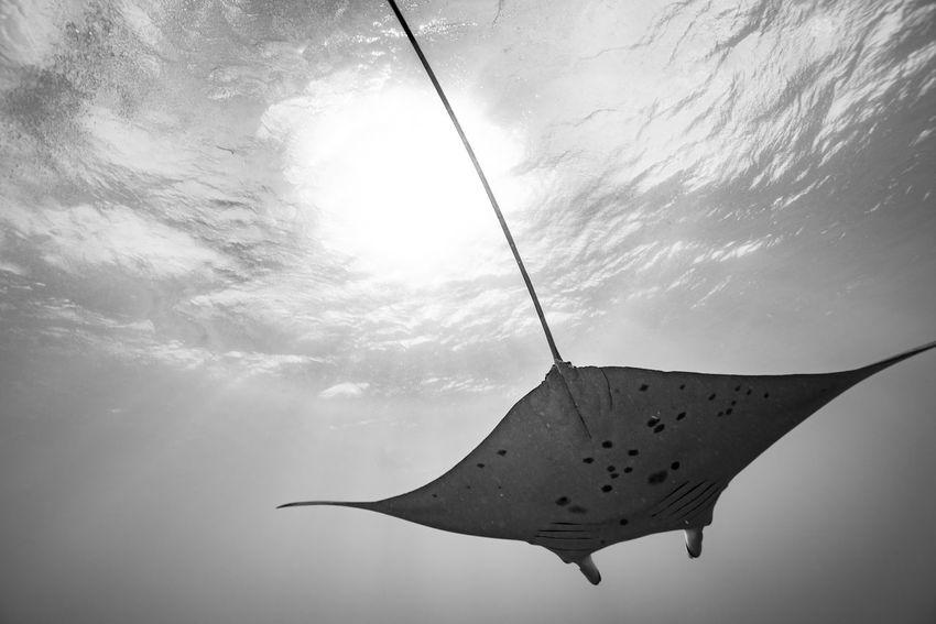 #UNDERWATER #blackandwhite #butterfly #mantaray #sea #sunset #sunset #sun #clouds #skylovers #sky #nature #beautifulinnature #naturalbeauty #photography #landscape #underwater Photography #yesterday