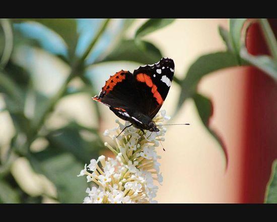 Sommer2014 Schmetterling