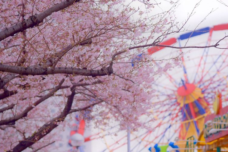 Flowers Snapshot Yokohama Colors Japan Cherry Blossoms Spring Flowers Nature Photography Flower Collection 桜 Snapshots Landscape #Nature #photography Minatomirai