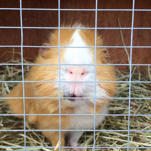 Abyssinian Guineapig looking out through cage Guinea Pig Guineapig Abyssinian  Cute Fluffy Cuddly Cavy Friendly Rodent Cage