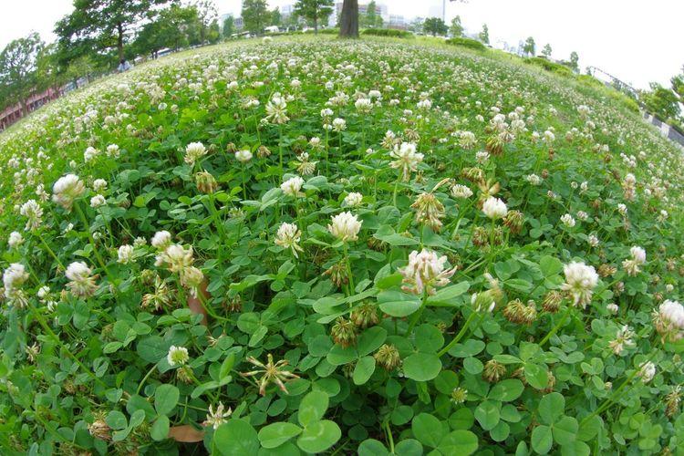 Cloverfield Clover Field Flowers Snap