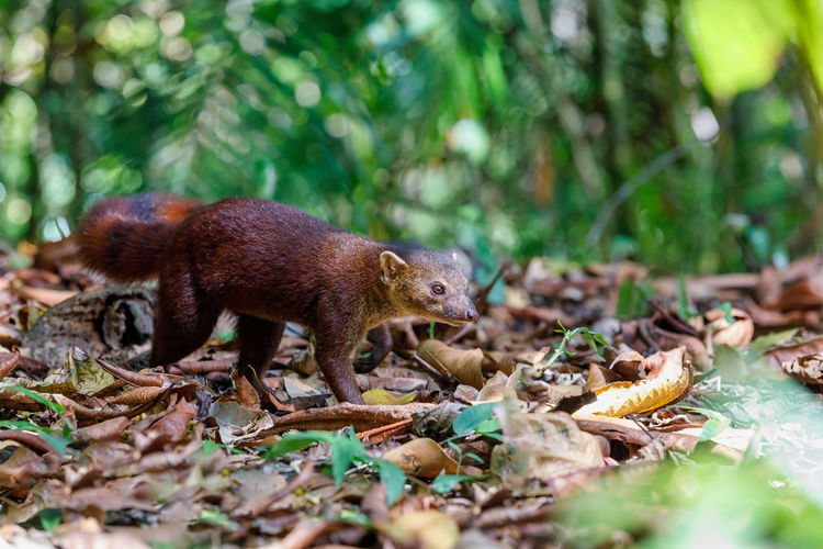 Ring-tailed mongoose in forest