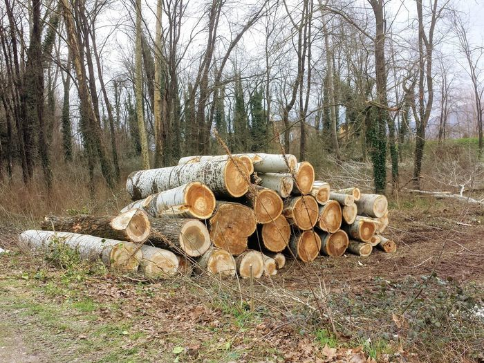 Bare Tree Day Forestry Industry Growth Heap Large Group Of Objects Log Nature No People Outdoors Stack Timber Tree Woodpile