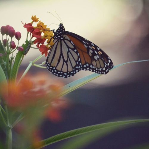 EyeEm Best Shots - Nature Naturephotography Mariposas Monarcas Nature_collection EyeEm Nature Lover Nature_perfection Animal Photography Beautiful Nature Flowers_collection Butterfly
