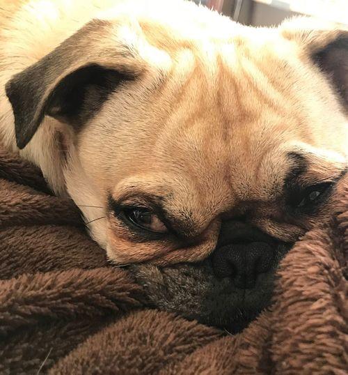 Pugface Pug One