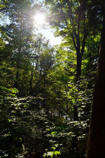Tree Forest Water Sunlight Tree Area WoodLand Sunbeam Sky Landscape Shining Sun