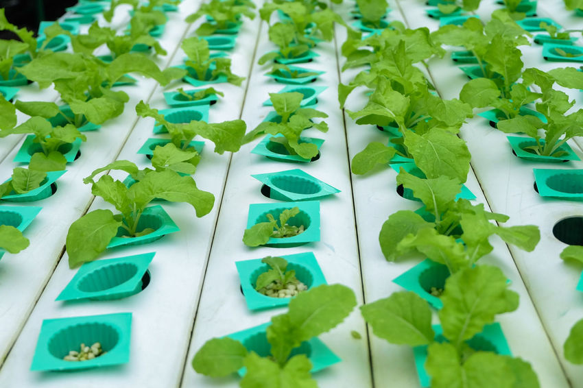 Hydroponic vegetable age 17-20 days plant with perlite move to vegetables rails Agriculture Freshness Gardening Growth Plant Salad Seed Tray Aquaponic Fresh Greenhouse Hydroponic Hydroponic Vegetables Plantation Vegetable Water