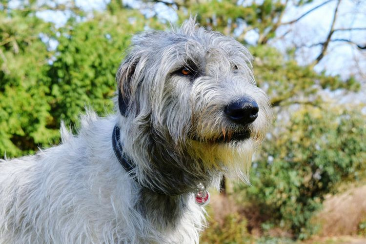 One Animal Domestic Animals Outdoors Bokeh Dogwalk Dog Of The Day Dogs Of EyeEm Dogs Of Winter Irish Wolfhound Cearnaigh Dogslife Portrait Looking At Camera Spring Is In The Air A Walk In The Park Winter 2017 March 2017 Dog Animal Themes