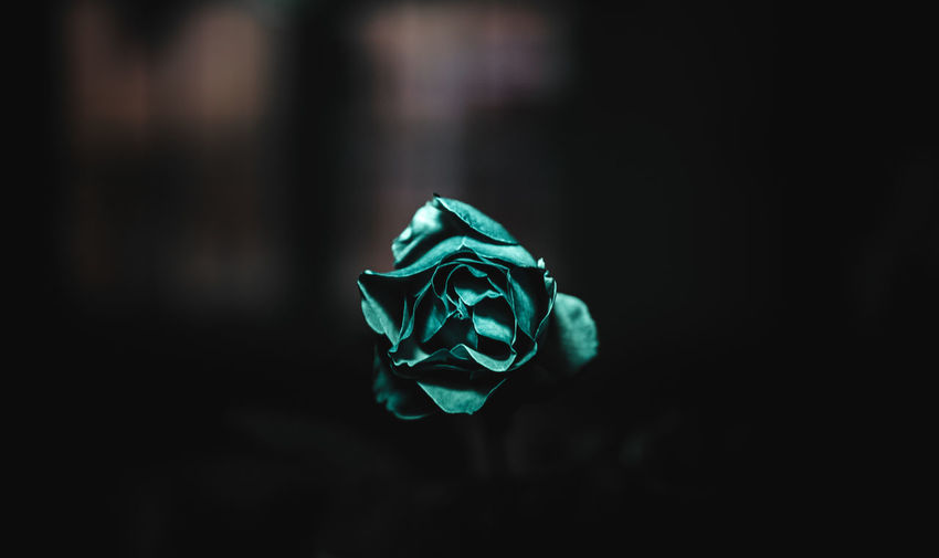 Art Is Everywhere Beauty In Nature Close-up Flower Flower Head Fragility Indoors  Nature No People Petal Rose - Flower Lightphotography A Rose Is A Rose Is A Rose Night Rose🌹 Playing With Light Studio Shot Leaf Indoors  Break The Mold Focus On Foreground Light And Shadow Neon Life
