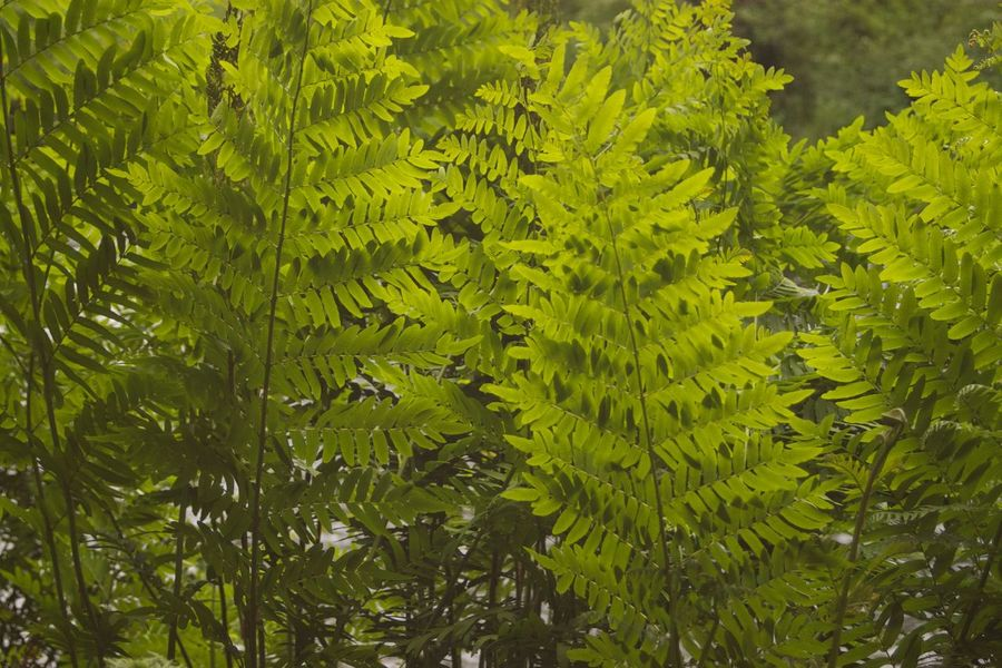 Bracken Day Fern Green Green Color Growth Leaf Leaves Lush Foliage Nature No People Plant