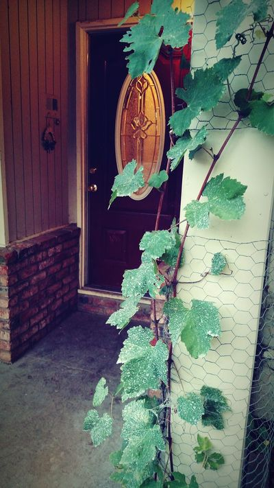 California Grapevine Doorway Entry