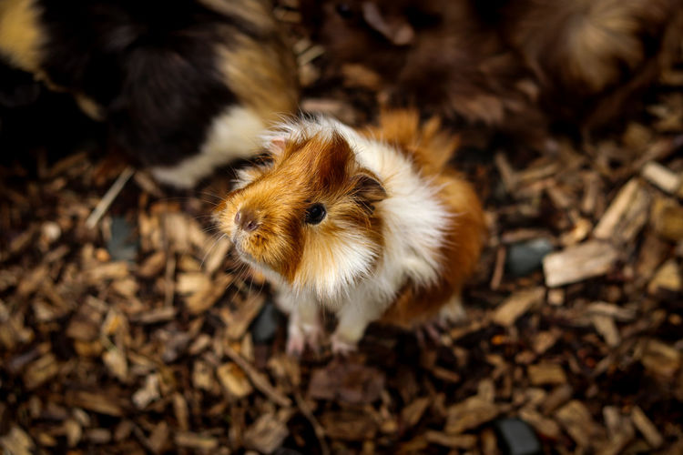 Exploratory look of a young furry guinea pig standing on its back and looking through a paddock