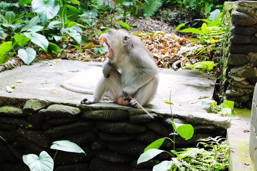 🐒 MonkeyForest Bali Bali, Indonesia Balinese Monkey Yawning Monkey Yawn Relaxing he's Enjoying Life ASIA Ubud, Bali
