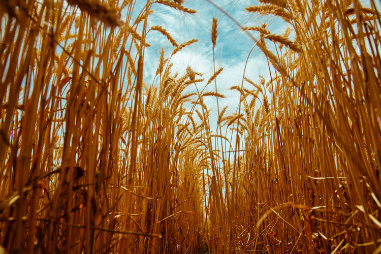 Low angle view of wheat field