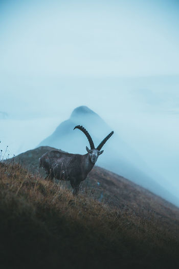 Animal Themes Animal One Animal Mammal Animal Wildlife Sky Nature No People Day Landscape Grass Animals In The Wild Tranquility Field Outdoors Tranquil Scene Mountain Mountain Range Mountains Peak Hiking Travel Travel Destinations Nature Nature_collection