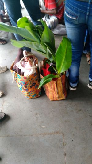Mini Banana Tree Carrying In A Bag