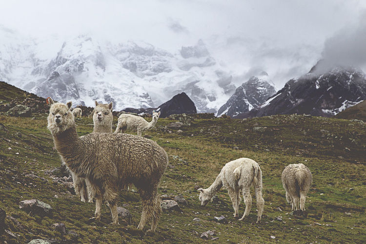 Alpacas grazing on field against mountains during winter