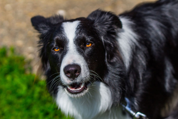 Border collie standing on field
