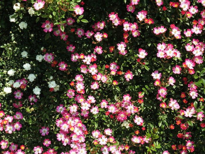 はな 花 植物 ピンク色
