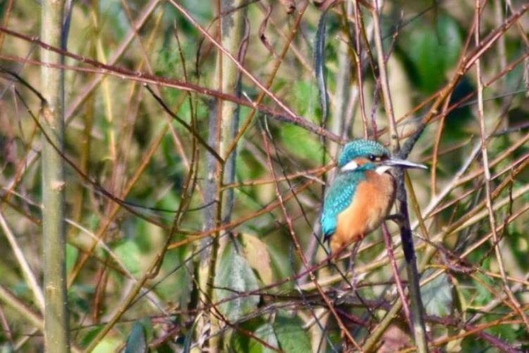 Canal Kingfisher Bird One Animal Animals In The Wild Animal Wildlife Animal Themes Perching Branch