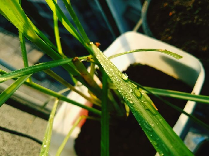 tea plant Reptile Insect Grasshopper Living Organism Close-up Animal Themes Plant Green Color Grass