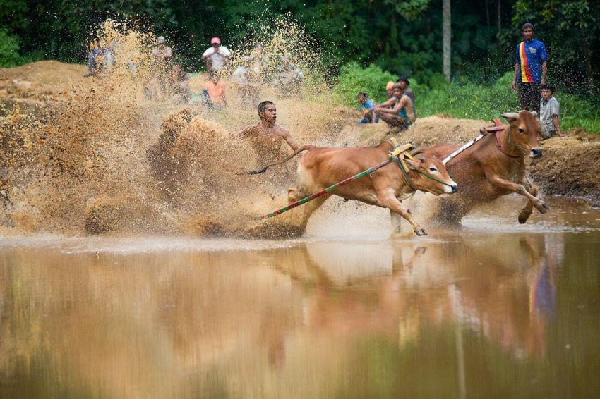 Motion Splashing Mammal Day Speed Outdoors Competition People Nature Adult Pacujawi Sumatra  Pacu Jawi Races Sumatra  Cow