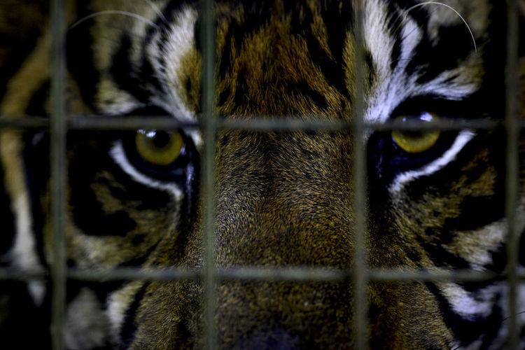 Close-Up Of Sumatran Tiger Looking Through Cage