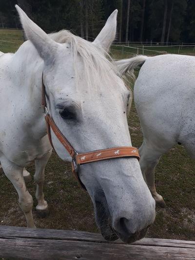 horse Lipicaner Horse Ranch Horse Cart