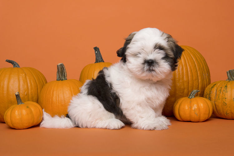 High angle view of dog by pumpkin against orange background