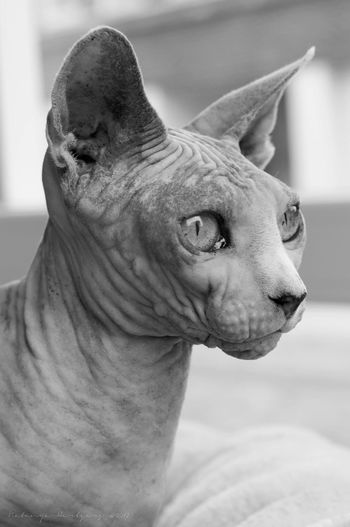 Close-Up Of Sphynx Hairless Cat