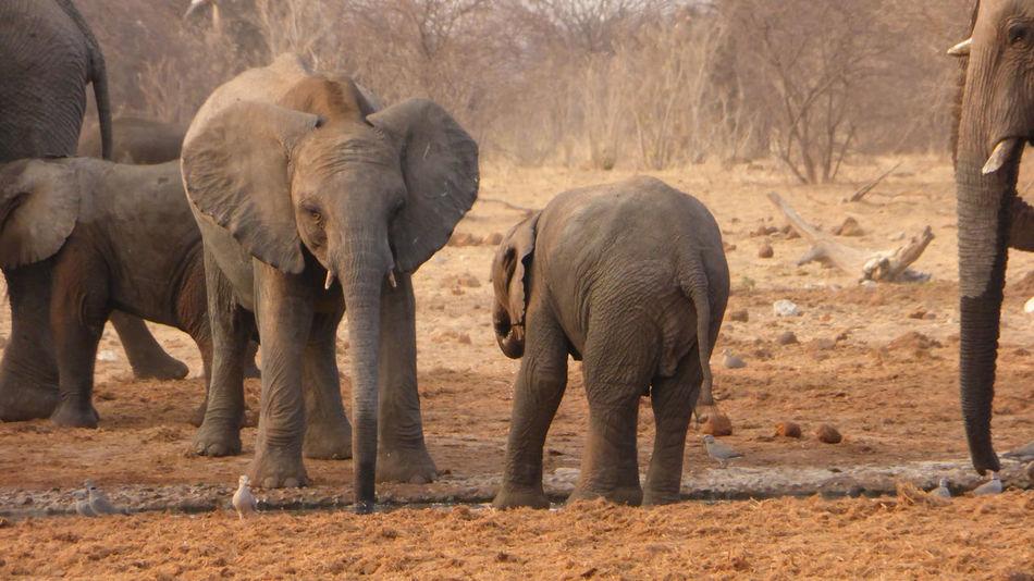 Elephants at Waterhole in Etosha National Park, Namibia Elephant Elephants Etosha National Park Game Herd Mammals Namibia Safari Safari Animals Safari Park Wildlife Wildlife & Nature Wildlife Photography Zoology