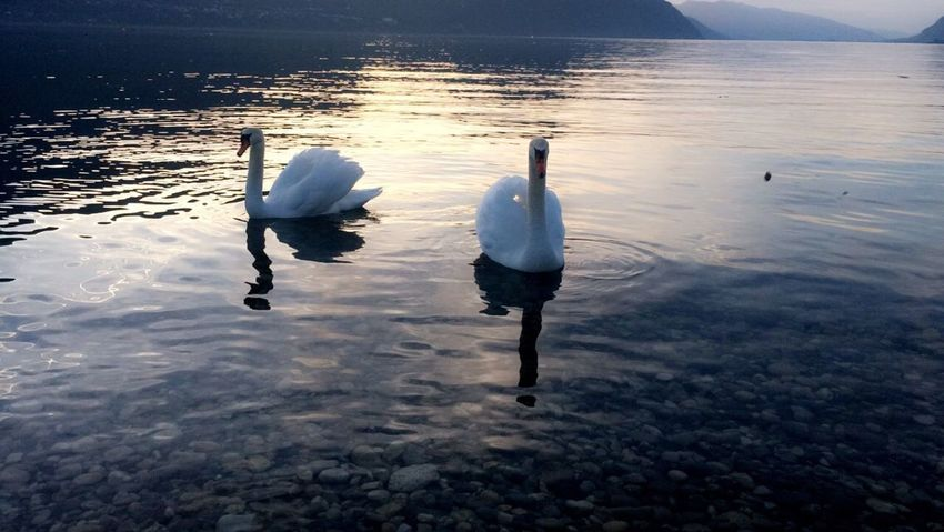 Water Animals In The Wild Bird Swan Animal Themes Reflection Lake Nature Animal Wildlife Water Bird White Color Day Swimming Outdoors No People Beauty In Nature Aix Les Bains