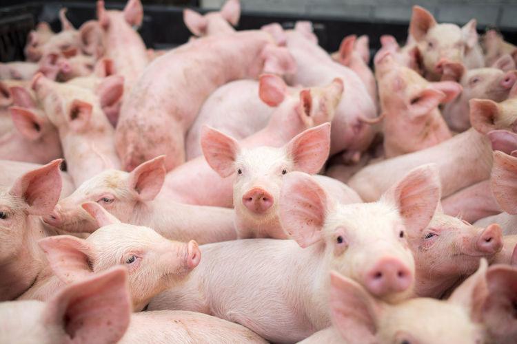 Full frame shot of pigs