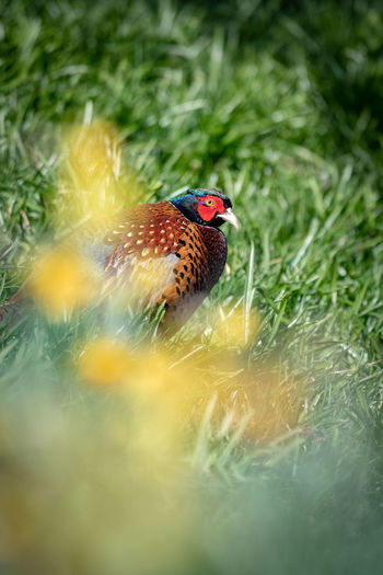 Pheasant in the Scottish Borders. Bird Bird Photography Pheasant Common Pheasant Ring-necked Pheasant Phasianus Colchicus Scotland Hiding Staring Game Bird Wildlife Nature Springtime Selective Focus No People Outdoors Green Color Field Land Animal One Animal Perching Close-up Multi Colored Animals In The Wild Day Beauty In Nature Animal Wildlife