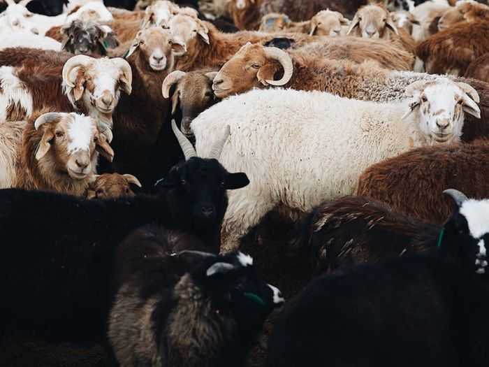 View of sheep